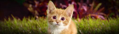 amazing-red-eye-tabby-kitten-website-header
