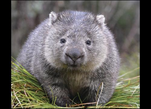 bare-nosed-wombat-vombatus-ursinus-156737